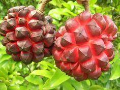 Duguetia lanceolata ripening fruits