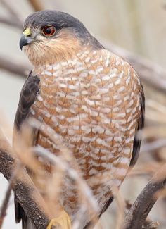 Got to see a couple building a nest during a hike on my day off. Sharp Shinned Hawk  Photo by Pat Gaines