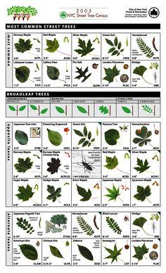 Leaf Key for Tree Identification