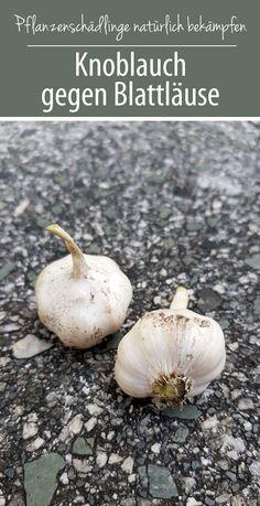 Garlic for aphids - home remedies from nature - green love - Gartentipps & -tricks Herb Garden, Indoor Garden, Garden Plants, Outdoor Gardens, Easy Garden, Garden Care, Nature Green, Real Plants, Natural Home Remedies