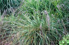 Purple moor-grass 'Karl Foerster'  Molinia karl foerster