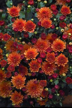 Herbst-Chrysantheme / Costmary Chinese Aster Chrysanthemum Mum Garden Mum (C Flowers Nature, Fall Flowers, Pretty Flowers, Exotic Flowers, Purple Flowers, Chrysanthemum Flower, Chrysanthemums, Fall Mums, Flower Shops