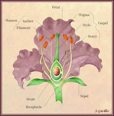 Iris parts of a flower - Google Search