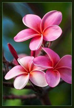 Pua melia (Plumeria) Beautiful gorgeous pretty flowers