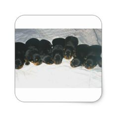#Rottweiler Puppies Square Sticker - #rottweiler #puppy #rottweilers #dog #dogs #pet #pets #cute