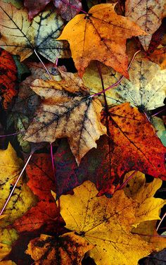 Free Fall Wallpaper, Autumn Leaves Wallpaper, Sf Wallpaper, Fall Background Wallpaper, Iphone Wallpaper, Art Et Nature, Nature Tree, Leaf Photography, Autumn Photography
