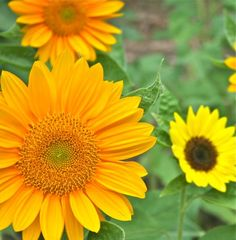 Sunflowers growing at Fernrock Farm.