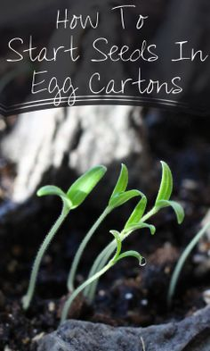 How to start vegetable seeds in egg cartons-- an easy step by step guide. A wonderful gardening project to do with kids of any age.