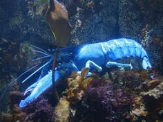 One in 2 million or so lobsters is blue.