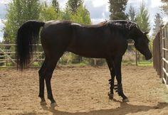 Homozygous solid black Arabian stallion, Ferric BP by Ferrer by Enzo
