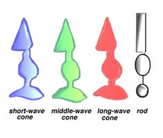 S, M, L (the three types of cones) absorb short (blue), Medium (green), and Long (red) wavelengths. Rods contain a single pigment called Rhodopsin (mnemonic RODopsin, RODuced light)