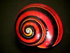 """Red"" POLYMITA PICTA Land Snail"
