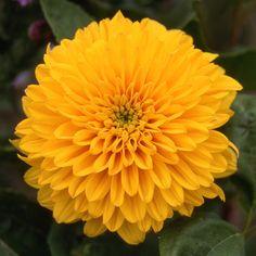 HELIANTHUS decapetalus 'Golden Ball' (Soleil) : Vigoureuses plantes de fond de plate-bande, produisant en automne une abondance de fleurs parfaites en bouquet.Supporte bien les sols secs. Joli feuillage vert. Fleurs doubles en gros pompons jaunes.