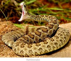 World's Top 10 Really Scary And Dangerous Snakes To Stay Away From Reptiles And Amphibians, Mammals, Open Mouth Drawing, Rattlesnake Bites, Snake Painting, Habitat Destruction, Snake Venom, Magic Realism, Fauna