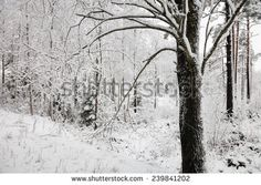 Snowy tree in the forest in the winter.White snow covering the trees and branches. - stock photo