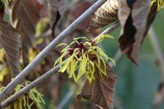 Hamamelis x intermedia 'Pallida' (Yellow Witch Hazel Tree) is a fragrant winter flowering shrub, available from Big Plant Nursery Witch Hazel Tree, Winter Flowering Shrubs, Orange Red, Yellow, Big Plants, Plant Nursery, Green Leaves, 20 Years, Spider