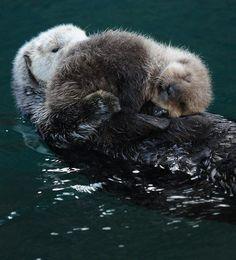 Baby Otter cuddled up on Mom.