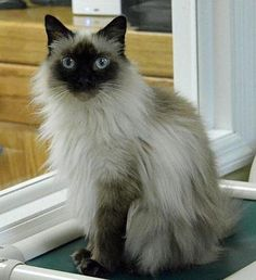 Check out Angel's profile on AllPaws.com and help her get adopted! Angel is an adorable Cat that needs a new home. https://www.allpaws.com/adopt-a-cat/himalayan/3689362?social_ref=pinterest