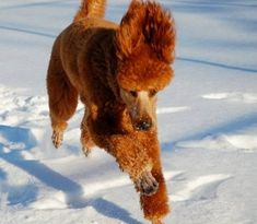 red standard poodles                                                                                                                                                                                 More