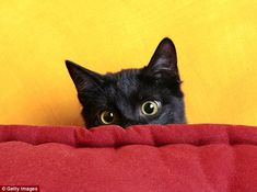 Vets at the Autonomous University of Barcelona have examined the scientific evidence for spotting when a cat is suffering from stress and how to reduce it. They say changes in normal behaviour, such as hiding for long periods and a reduction in play are key signs of stress in the animals. A cat is shown hiding behind a sofa