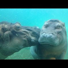 Hippos kissing at the San Diego zoo.