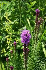 Liatris spicata - Virginia native, good in rain garden and for butterflies, drought tolerant, full sun. Seldom severely damaged by deer.