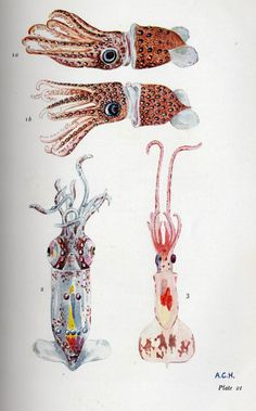 Very cute squidlets from the book, The Open Sea Its Natural History by Alister Hardy