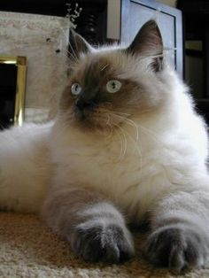 Ragdoll cat- awww they get big and love❤ to be held. They're called Ragdolls cause they're whole body goes limp when you hold them❤
