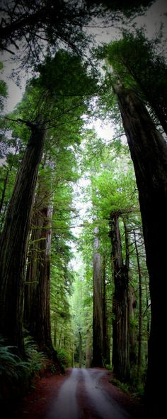 Howland Hill Road Redwood Trees. Jedediah Redwoods State Park, California!