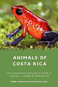 This app is the first comprehensive field guide of animals of Costa Rica containing almost 7000 pictures of more than 4700 common or spectacular species from mammals, reptiles, birds, amphibians as well as freshwater and marine fish to insects and spiders and many more. This image shows a Strawberry poison frog (Oophaga pumilio). #ACRApp #AnimalsOfCostaRica #FrogsOfCostaRica #PuraVida Amphibians, Reptiles, Mammals, Marine Fish, Field Guide, Image Shows, Costa Rica, Fresh Water, Spiders