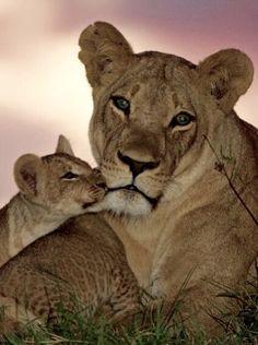 Lions - wild animals