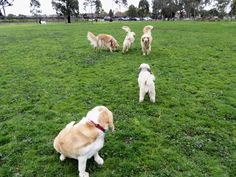 Off leash dog park McIvor Reserve in Yarraville Melbourne | dogs golden retrievers | Photo by Pupbeat.com.au