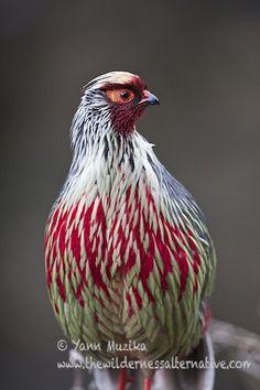 Blood Pheasant Ithaginis cruentus tibetanus   - Adult male