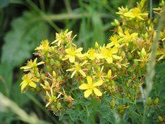 ierburi pe bază de plante varicoză