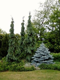 In between the blooming periods of the perennials, a simple grouping of weeping white Spruce and dwarf form of Blue spruce create interest. Weeping Evergreen Trees, Evergreen Trees Landscaping, Evergreen Landscape, Evergreen Garden, Privacy Landscaping, Outdoor Landscaping, Front Yard Landscaping, Outdoor Gardens, Weeping White Spruce