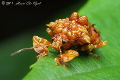 Our Ranger team has chosen this crazy-looking Malaysian shield bug as its Spotting of the Week! Stink bugs earn their common name from their...