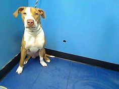 SAFE Manhattan Center  MICKEY - A0967708  MALE, BROWN / WHITE, PIT BULL MIX, 6 mos Mickey needs our help  Please share for an adopter or foster who can save this boy before its too late https://www.facebook.com/photo.php?fbid=622170084462541=pb.152876678058553.-2207520000.1370698459.=3