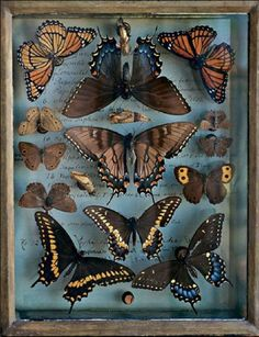 Butterfly collection in glass display case