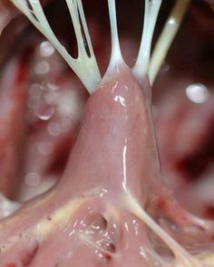 """Chordae tendineae (the """"heart strings"""") attached to the papillary muscles. The chordae attach to the atrioventricular valves to stop the valves from prolapsing into the atria during ventricular systole #Cardiac #MedSurg #Nursing"""