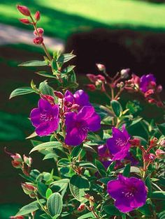 """Princess Flower, Glory Bush : Zones year round in frost free areas.full sun to light shade. Attracts bees and butterflies."" This is my favorite potted plant. I bring it inside in winter since I live in zone Beautiful, vibrant blooms! Patio Trees, Garden Trees, Trees To Plant, Garden Art, Summer Flowers, Purple Flowers, Purple Plants, Purple Garden, Princess Flower"