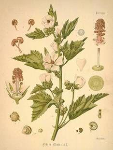Marshmallow root althaea officinalis bladder infection beta carotene amino acid minerals vitamins
