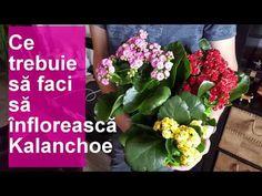 Ce trebuie sa faci sa infloreasca Kalanchoe - YouTube Make It Yourself, Youtube, Plant