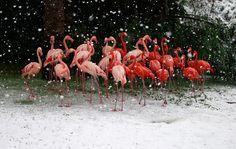 Flamingos under the snow