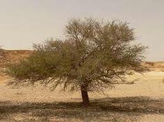 Дерево ситтим