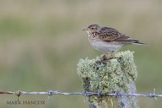 Skylark - Mark Hancox Bird Photography