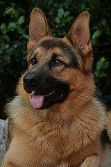 German Shepherd, Arni   by buddhaformarsha