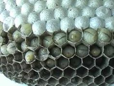 Yellowjackets are a common wasp, their life cycle is one of complete metamorphosi. Bees And Wasps, Science Videos, Plant Science, Bee Happy, Life Cycles, Bee Keeping, Bee Hotels, Bugs, Yellow Jackets