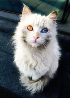 Fire and Ice. Beautiful cat with different colored eyes. by pam