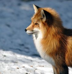 This fox's winter coat seems almost like a mane! Photo by Robert Fry on flickr.