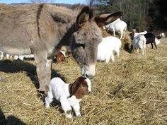 Guard animals include donkeys, llamas and dogs. #goatvet says monitor donkeys carefully as they can become aggressive with the goats